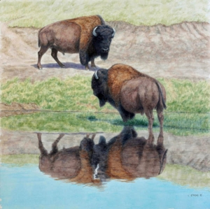 Buffalo Reflecting